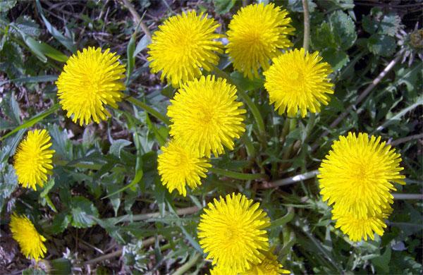 BIO.aranea.ru - South Urals Nature - flora Осот Полевой